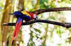 Parrot Ara in green tropical forest, Costa Rica stock photography