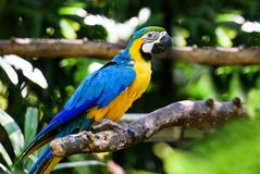 Parrot Ara in green tropical forest, Costa Rica stock image