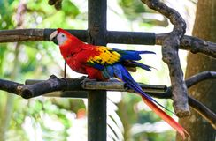 Parrot Ara in green tropical forest Stock Photo