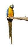 Parrot ara isolated Stock Image