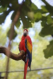 Parrot ara with long beak perch on tree. Colorful parrot ara with long beak perch on tree Royalty Free Stock Photos