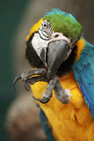 Parrot ara macao cleaning its foot Stock Photography