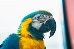 Parrot Ara Macaw blue and yellow portrait of a close-up.  Royalty Free Stock Photo