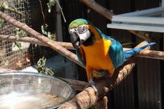 Parrot ara. Portrait of gialloblu wing Ara ararauna walking on branch Royalty Free Stock Photography