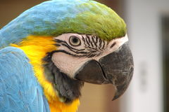 Parrot (ara). Profile head of a macaw parrot Stock Images