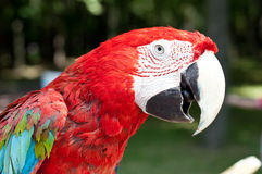 Parrot ara Royalty Free Stock Photo