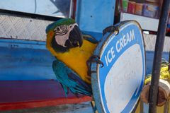 Parrot in Aruba. Parrot at the island of Aruba royalty free stock photography