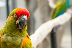 Parrot with an attitude. Parrot looking at you with an attitude Stock Photos