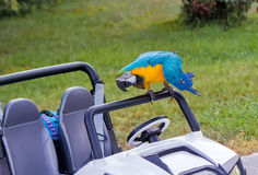 Parrot and baby the car on the lawn. Stock Images