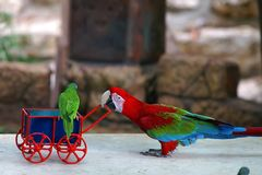 Parrot babysitting. Cute colorful parrot babysitting a little parrot stock images