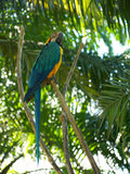 Parrot from bali Royalty Free Stock Image