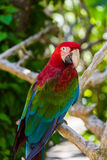 Parrot in Bali Island Indonesia Stock Image