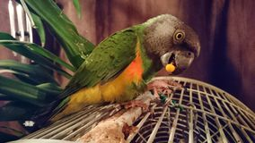 Parrot. Barney tic tac bird Senegal flying savage Stock Images
