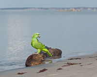 Parrot by the beach Stock Images