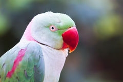 Parrot. Beautiful colorful parrot bird looking for food while playing side Stock Images