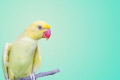 Parrot. Beautiful parrot on pastel background stock photography
