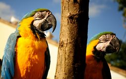 Parrot. Beautiful reach colorful tropical birds Royalty Free Stock Photography