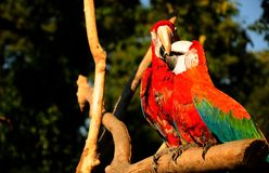 Parrot. Beautiful reach colorful tropical birds Royalty Free Stock Photo