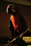 Parrot. Beautiful reach colorful tropical birds Royalty Free Stock Image