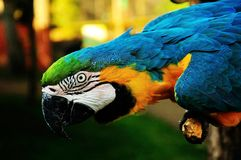Parrot. Beautiful reach colorful tropical birds Royalty Free Stock Images