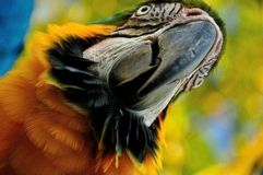 Parrot. Beautiful reach colorful tropical birds Stock Photography