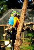Parrot. Beautiful reach colorful tropical birds Stock Photos