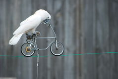Parrot on the bicycle royalty free stock images