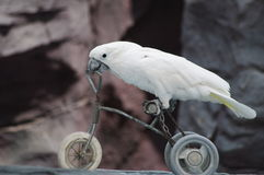 Parrot on a bike. A macaw riding a bike Royalty Free Stock Photos