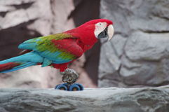Parrot on a bike. A macaw riding a bike Stock Photos