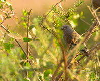 The Parrot-billed Sparrow Stock Image