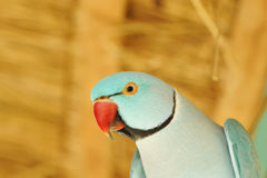 Parrot bird Royalty Free Stock Photos