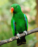 Parrot bird Royalty Free Stock Images