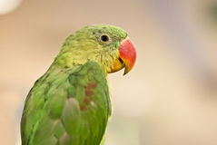 Parrot Bird. Stock Image