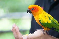 Parrot bird eating corn seed Stock Photography