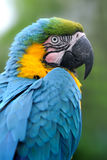 Parrot bird (Severe Macaw) stock images