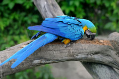 Parrot bird (Severe Macaw) Royalty Free Stock Photography