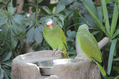 Parrot bird sitting on the perch Royalty Free Stock Photography