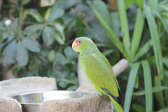 Parrot bird sitting on the perch Royalty Free Stock Images