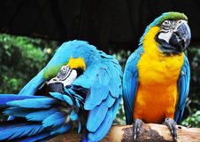 Parrot birds. The blue-yellow parrot birds Stock Photos
