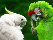 Parrot birds Royalty Free Stock Images