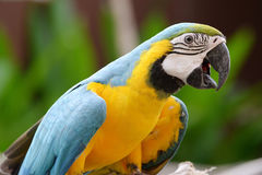 Parrot birds. Beautiful Parrot Birds from south America royalty free stock photos