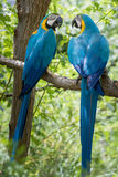 Parrot Birds Looking at Each Other Stock Images