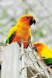 Parrot birds lovebird beatiful in nature background Stock Image