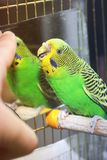 Parrot bites the finger stock photography