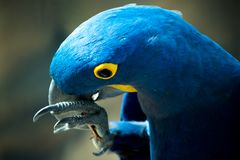 Parrot biting on a stick royalty free stock photography
