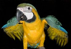 Parrot with a black background Royalty Free Stock Image