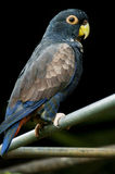 Parrot black background Stock Images