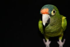 Parrot on Black Background Royalty Free Stock Images