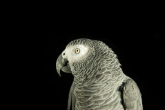 Parrot on black. Close up of a grey parrot on black background stock photography