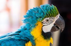 Parrot Blue Gold Macaw. Blue Gold Macaw, breeds in forest and woodland of Tropical South America from Trinidad and Venezuela south of Brazil, Bolivia, Colombia Stock Photos